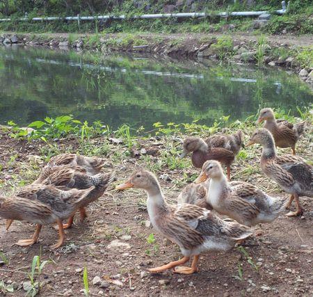 菱野温泉郷の鴨